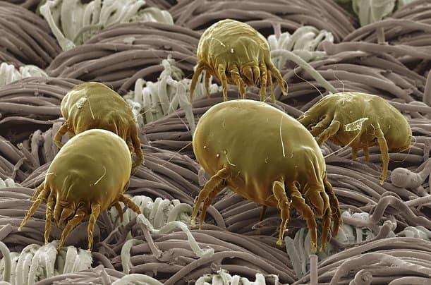 Roztoč pod mikroskopem